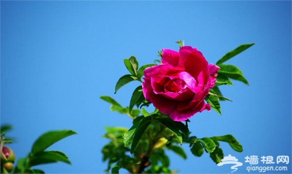 2015妙峰山高山玫瑰节