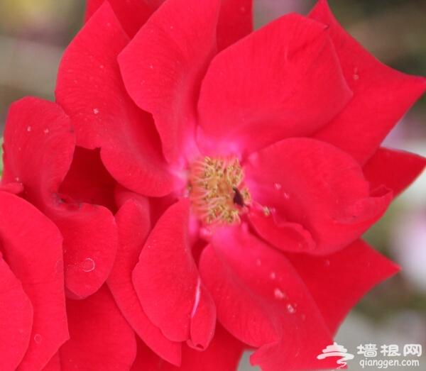 六月月季盛开舞动京城 月季最全观赏地图