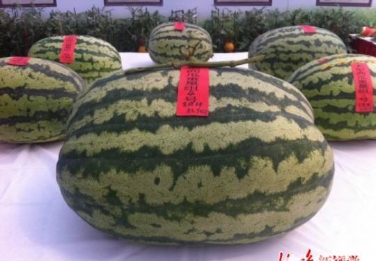 """2015大兴西瓜节83.94公斤瓜王现身 市民惊叹""""都比我沉"""""""