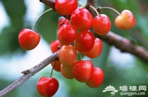 北京采摘园哪里好 海淀樱桃采摘园活动