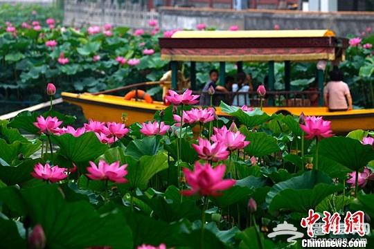 北京北海公园荷花迎夏盛放[墙根网]