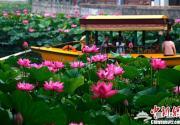 北京北海公園荷花迎夏盛放
