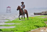 山东日照遭浒苔侵袭 沙滩骑马似驰骋草原
