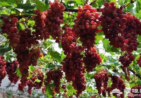 去世界葡萄博览园采摘金秋葡萄