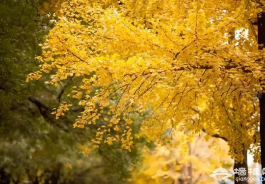 再过一个月 来北京赏最美的秋天