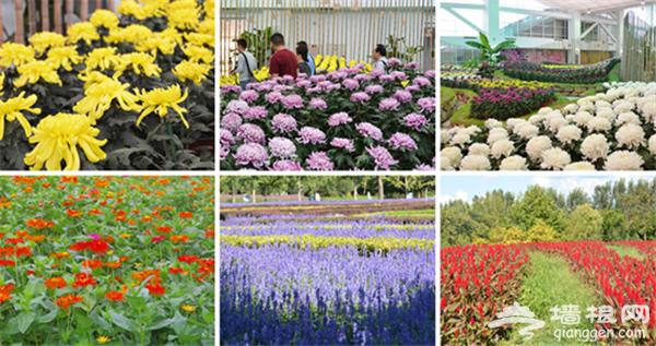 2015第七届北京菊花文化节将在北京国际鲜花港举办