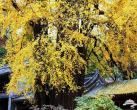 北京古刹中的古银杏 秋季就得看这景儿