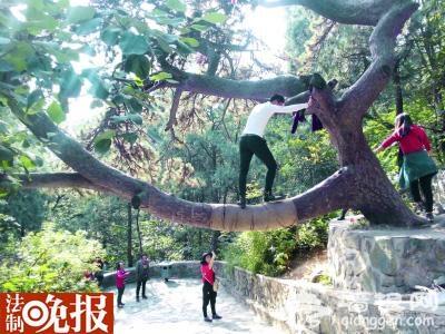微博曝光游客爬香山古树拍照 公园呼吁文明游园[墙根网]