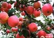 """昌平苹果在家也能""""摘"""""""