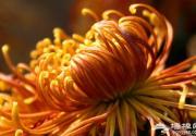 天坛祈年殿60年来首办菊花展 展至本月21日