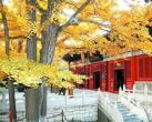 赏银杏那里去 北京十大最古老银杏树