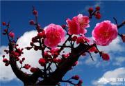 2016北京植物园梅花展明年2月开幕