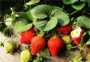 冬季草莓采摘季 乡间采摘甜蜜蜜