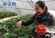 北京草莓采摘季 大兴草莓采摘点燃冬季农家游
