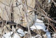 栗斑腹鹀再现北京密云水库:已消失70年 被列为濒危物种
