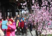 2016上海梅花节今开幕将伴市民43天