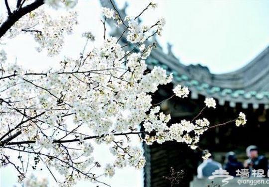 2019武汉大学樱花预计月底全面绽放,观赏将继续采取网上预约形式