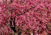 2016春城桃花文化节 3月1日启幕