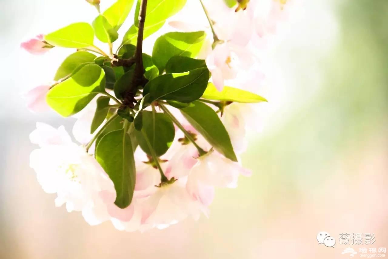 花开时节,不负京城好春光|京城赏花攻略[墙根网]