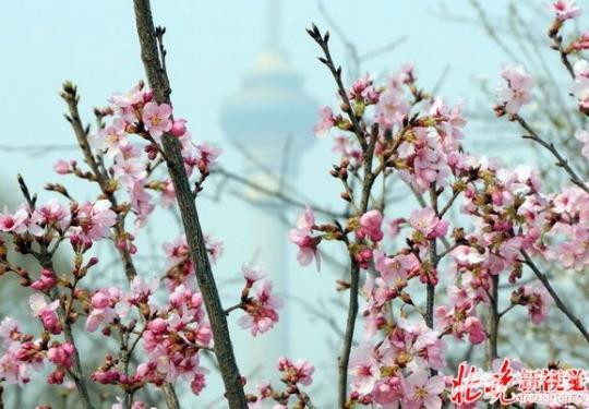 2016北京玉渊潭樱花节有望本月下旬开幕