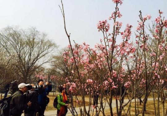 玉渊潭的樱花开了 约吗?