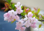 2016湖南植物园樱花节