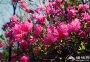 云蒙山国家森林公园 映山红观赏活动