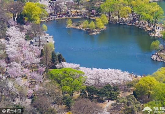 玉渊潭公园樱花进入盛花期