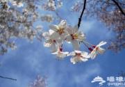 京城春日里的三大花事