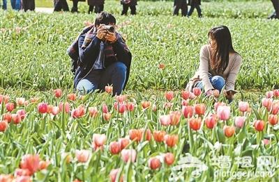 北京国际鲜花港郁金香文化节正式开幕[墙根网]