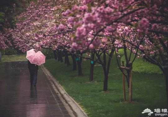 """上海""""最美50米""""路旁樱花雨后绽放"""
