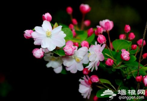 2016元大都遗址公园海棠花节中旬开幕