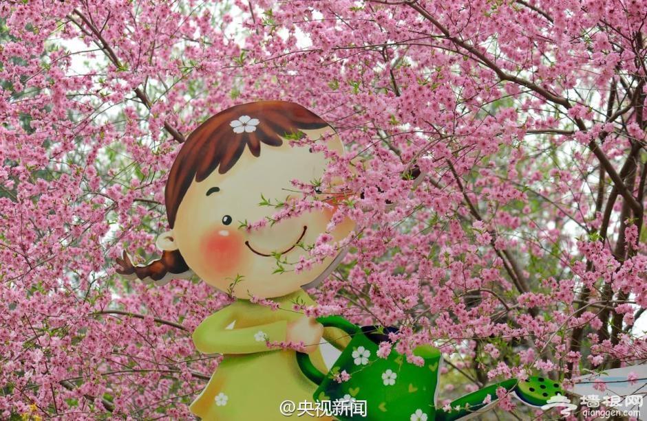 玉渊潭公园2000株樱花将凋谢[墙根网]