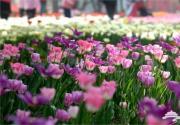 2016年石家庄植物园郁金香文化节