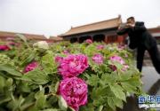 万盆牡丹故宫开展 9大色系12个花型惹游客狂拍