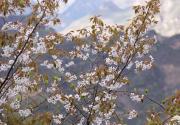 蓟县八仙山发现野生山樱花