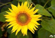 京郊八大最美向日葵花海盘点 清新的金黄色花海