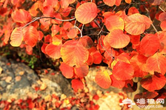 山脚下的大片红叶已经红了