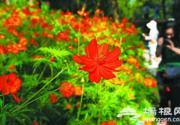 北京植物园40万株硫华菊怒放