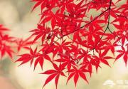 万山红遍层林尽染 河北秋季赏红叶好去处