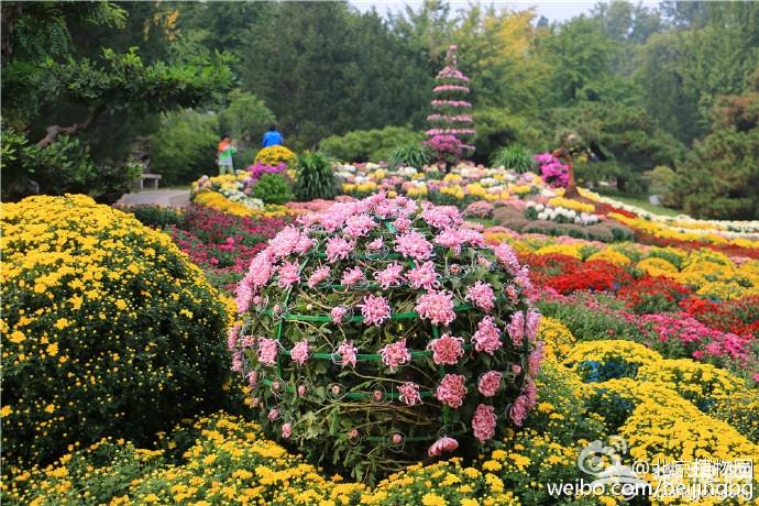 北京植物园菊花文化节 50万鲜花汇聚一堂[墙根网]