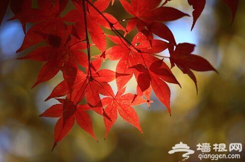 秋季枫叶摄影指南 枫叶怎么拍[墙根网]