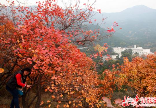 2016香山红叶节10个高峰日将采取交通管控措施