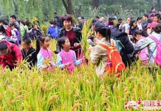 海淀公园第十三届收割节:稻花香里说丰年 公园体验收割忙