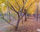 北京昌平惊现银杏林 成赏秋拍照好去处