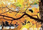 片片金黃惹人醉 盤點北京銀杏最佳觀賞地