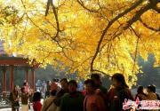 北京市属公园进入赏秋最佳时段 地坛银杏文化节今起举行