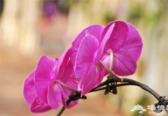 2017三亚国际热带兰花博览会下月开幕