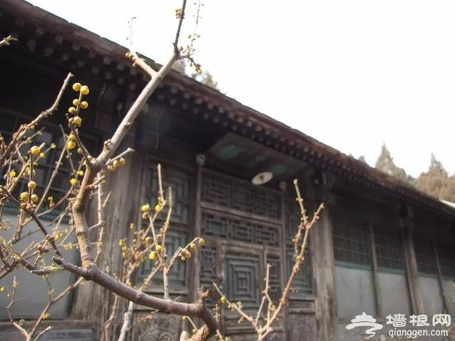 进入腊月 北京这些地方的蜡梅花开啦![墙根网]