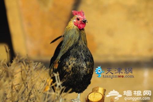 天津动物园鸡年赏鸡 生肖文化展春节推出[墙根网]